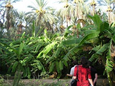 Listy banánovníků