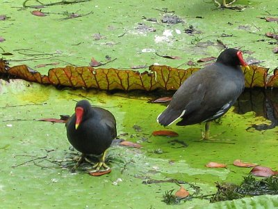 Vodní ptáci na listech Viktorie amazonské
