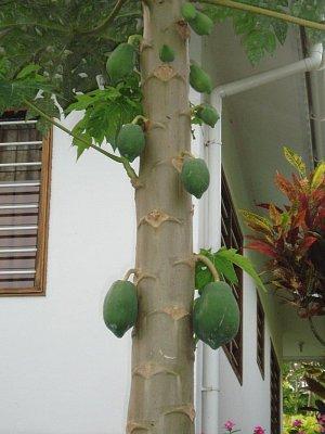 papaya (nahrál: admin)