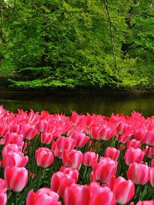 Nizozemí - květinové dni