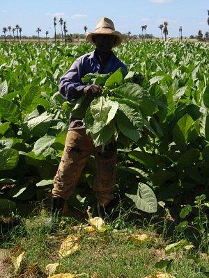 sklizeň tabáku - provincie pinar del Rio (nahrál: best)