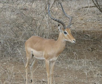 Safari Keňa 2009