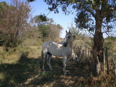 Camargue-bělouši (nahrál: Vlaďka)