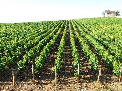 Burgundské vinice - Morey St.Denis (nahrál: Jechort)