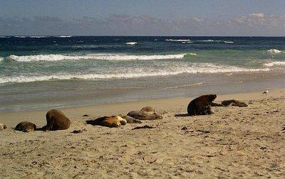 Seal Bay - Na pláž se smí pouze v doprovodu průvodců a ne blíž jak 6 metrů od lvounů (nahrál: Luboš)