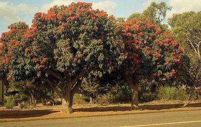 Parndana - Strom s názvem Red flavoured gum tree (nahrál: Luboš)