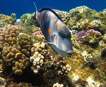 Egypt, Sharm el-Sheikh - pod hladinou Rudého moře