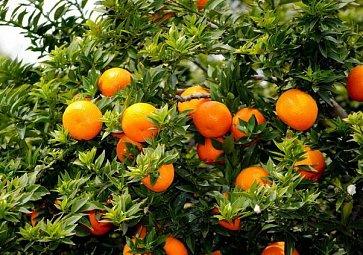 Bitter orange - vysvětlete mi to!