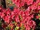 rododendronobtusum veltrusy.jpg